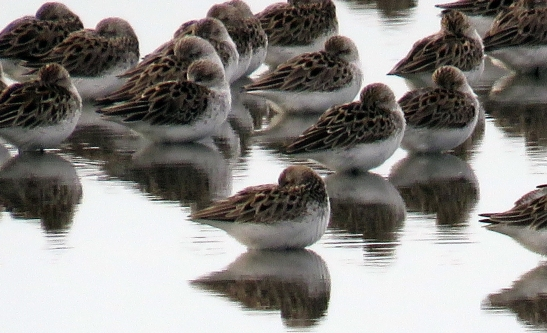 Semipalmated sandpipers at Heislerville Cape May May 2015 jamiesbirds