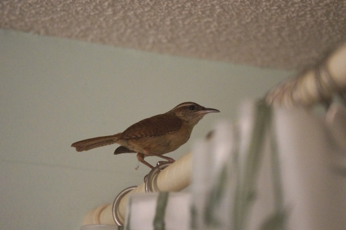 Carolina wren visit b jamiesbirds