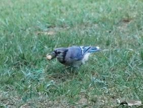 Peanut a jamiesbirds