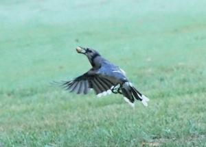 Peanut b jamiesbirds
