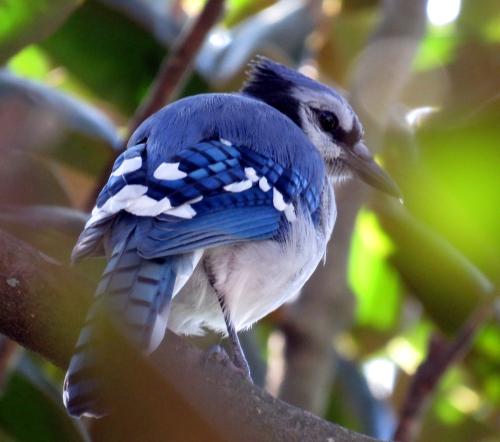 Peanuts Jay a jamiesbirds
